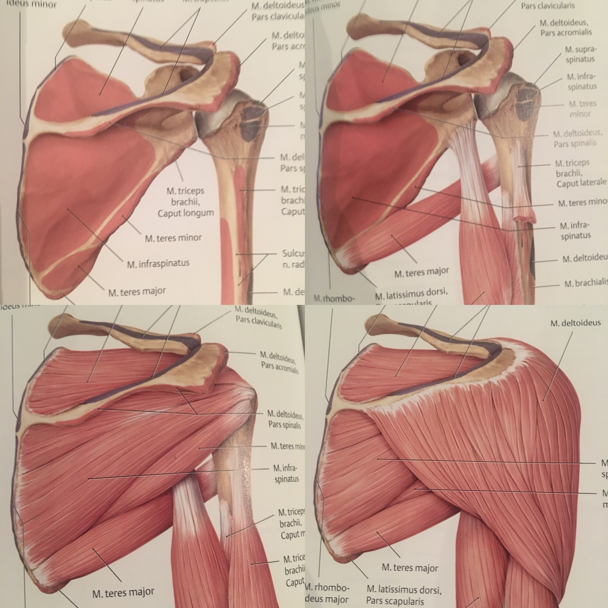 teres major, infraspinatus, lapaluu, hartia,
