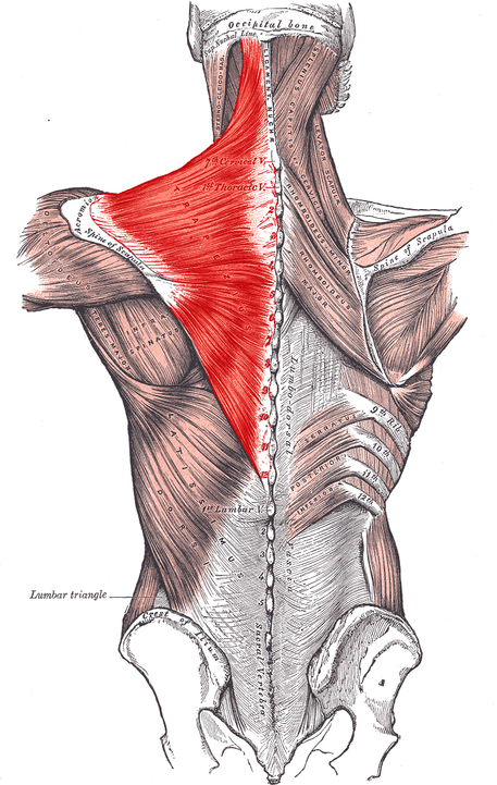 m. trapezius, epäkäslihas, hartiat, korviin,hermostunut ja stressaantunut olo,lapaluiden asento,lihas, tietoinen,olkapäät, nivel,