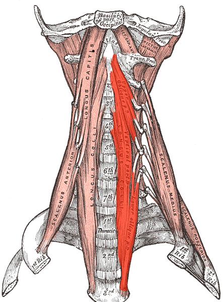 niskan lihakset,hermot,kallonpohja,verenkierto,